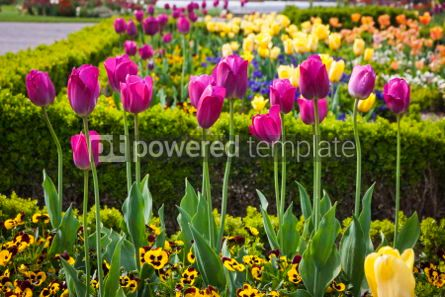 Nature: Colourful tulips in the garden #04330