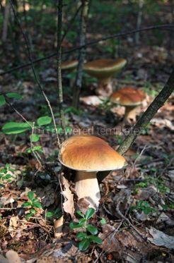 Nature: Edible Boletus Edulis mushroom in the forest #04337
