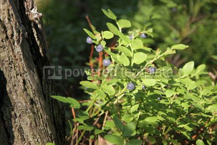 Nature: Bushes of blueberries in a forest #04338