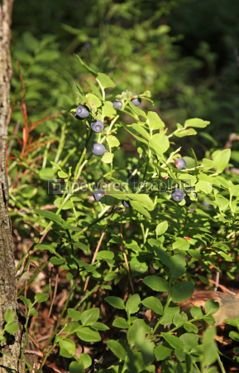 Nature: Bushes of blueberries in a forest #04339