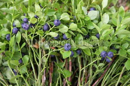Nature: Bushes of blueberries in a forest #04340