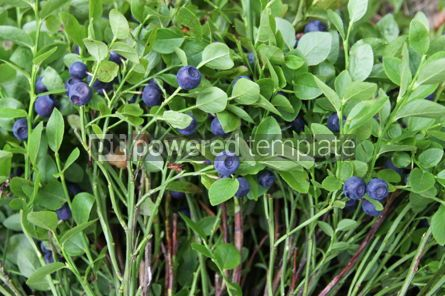 Nature: Close-up bushes of blueberries in a forest #04341