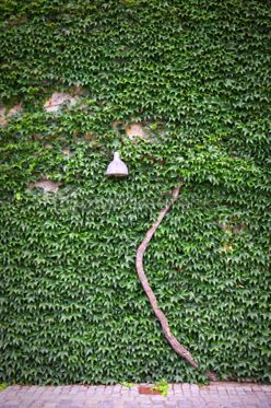 Nature: Streetlamp on the green leaves wall #04444