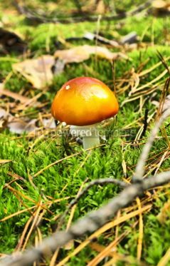 Nature: Small fly agaric mushrooms in the forest #04600
