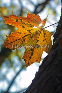 Nature: Alone yellow maple leaf on a tree #04659