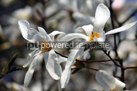 Nature: White magnolia flowers in spring garden #04666