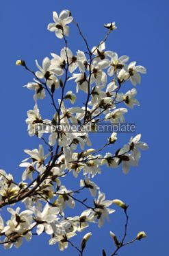 Nature: White magnolia flowers in spring garden #04667