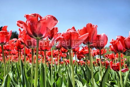 Nature: Red tulips in garden  #04669