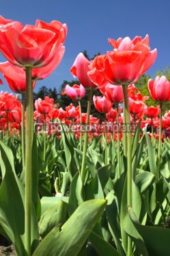 Nature: Close-up red tulips in the garden #04670