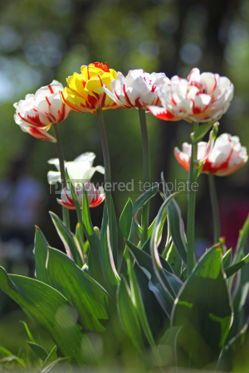 Nature: Beautiful white tulips in the garden #04671