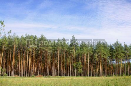 Nature: Wild forest with green pines #04691