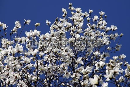 Nature: White magnolia flowers in spring garden #04694