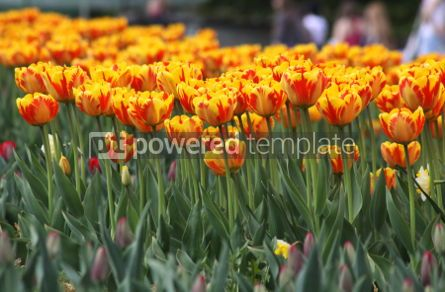 Nature: Orange tulips in the garden #04697