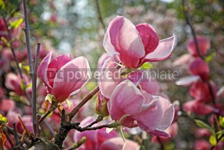 Nature: Pink magnolia flowers on a branch #04698