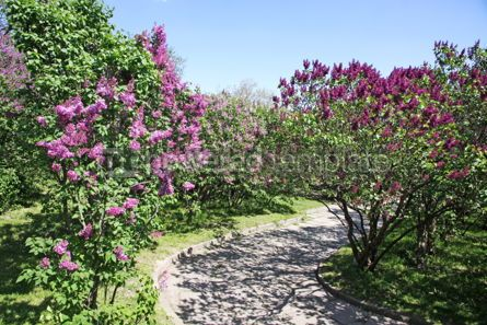 Nature: Alley of violet lilac trees in Kyiv Botanical Garden Ukraine #04699