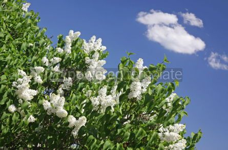 Nature: Bush of white lilac in the garden #04701