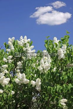 Nature: Bush of white lilac in the garden #04702