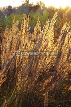 Nature: Close-up dry grass field over setting sun background #04704