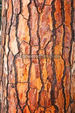 Nature: Brown bark of pine tree #04705