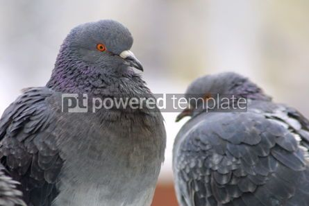 Animals: Two pigeons on a perch #04724