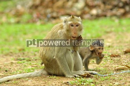 Animals: Funny monkeys in National Park Angkor Wat Cambodia #04726
