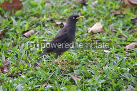 Animals: The Javan Myna (Acridotheres javanicus) also known as the white #04728