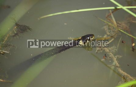Animals: Common water snake floating on the water #04732