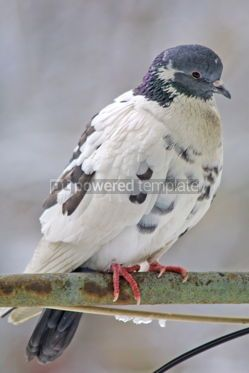 Animals: Close-up pigeon on a perch #04733