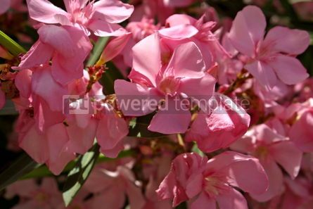 Nature: Pink flowers #04822