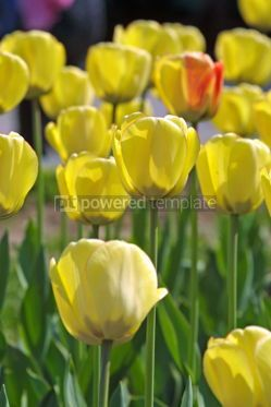 Nature: Yellow tulips #04835