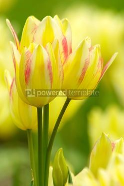 Nature: Yellow tulips #04847