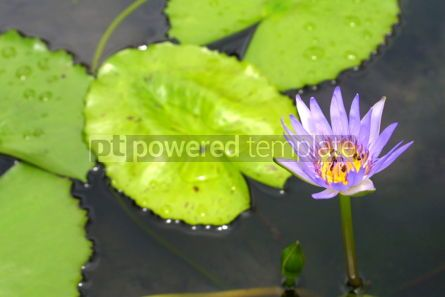 Nature: Blue Water-Lily #04848