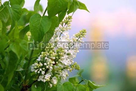 Nature: White lilac #04853