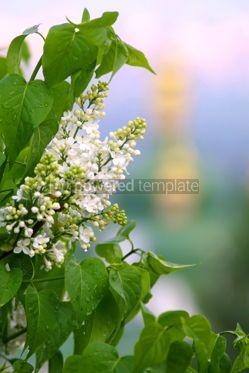 Nature: White lilac #04854