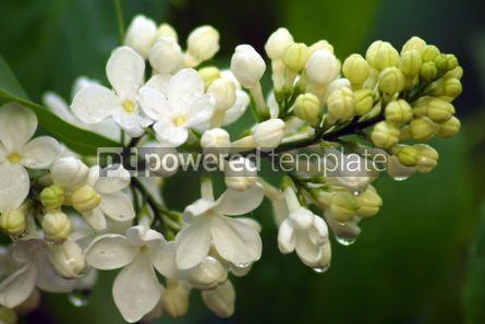 Nature: White lilac #04856