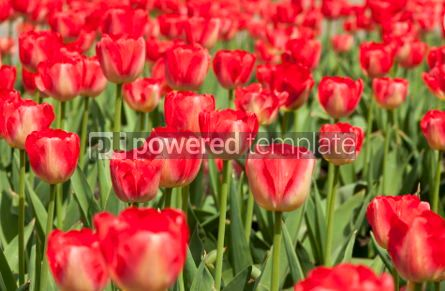 Nature: Red tulips in the garden #04868