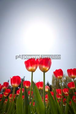 Nature: Red tulips in the garden #04870