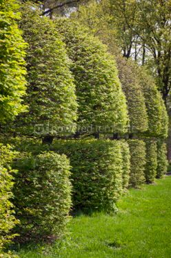 Nature: Row of neatly trimmed trees #04871