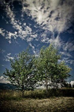 Nature: Landscape with birches in Carpathian mountains Ukraine #04872