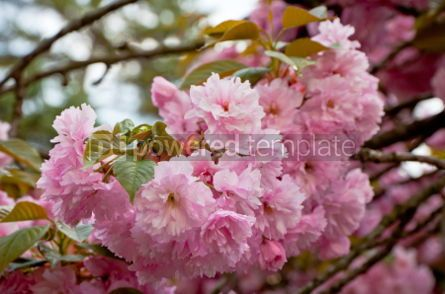 Nature: Close up branch of sakura blossom #04876
