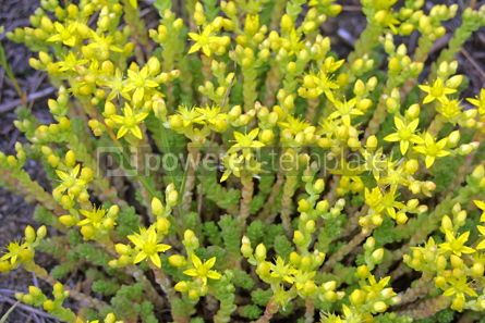 Nature: Small tender yellow flowers #04891