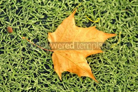 Nature: yellow maple leaf #04894
