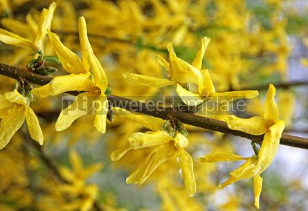 Nature: Branch of yellow forsythia shrub #04895
