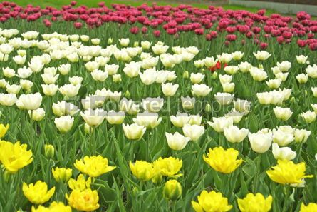 Nature: White yellow and violet tulips #04962