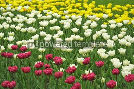Nature: White yellow and violet tulips #04963