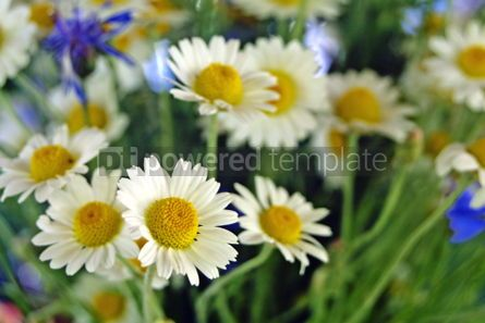 Nature: Bouquet of camomile #04968