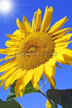 Nature: Sunflowers with blue sky #04969