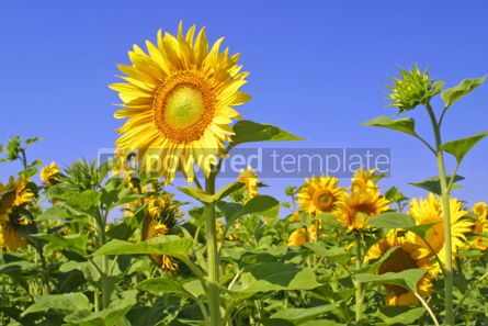 Nature: Sunflowers with blue sky #04970