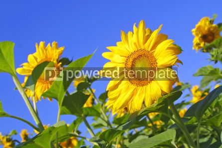Nature: Sunflowers with blue sky #04971