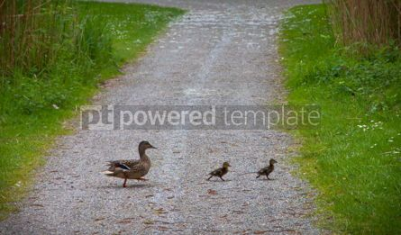 Animals: Mother duck walking with her two ducklings #04992